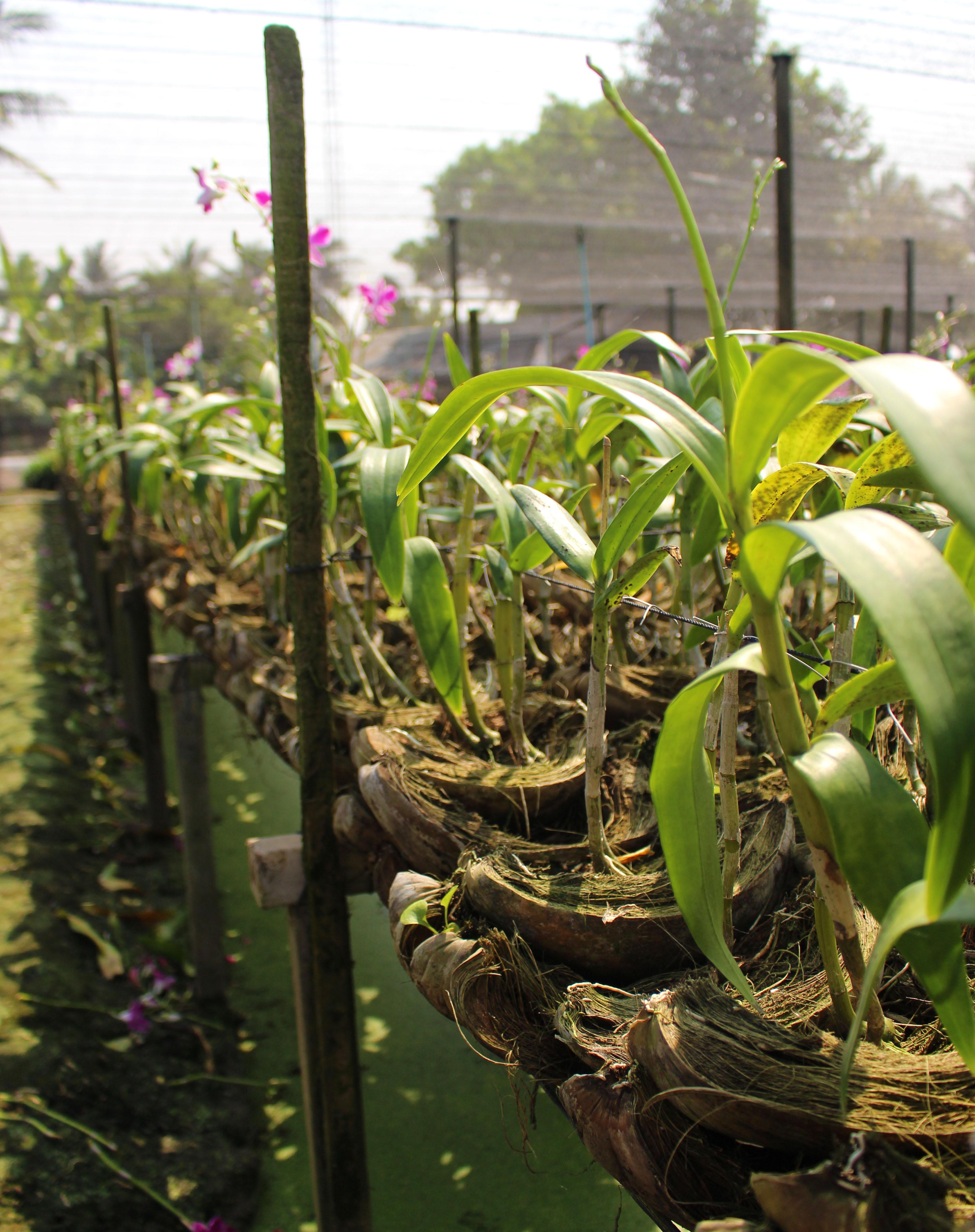 thai orchids exporter